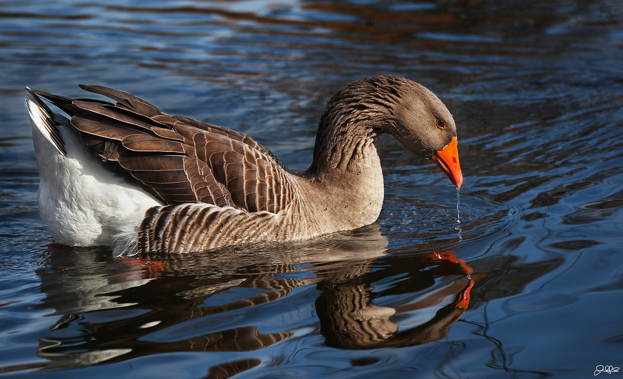 TOULOUSE<br /> <br /> A Toulouse Goose swims through North Pond...