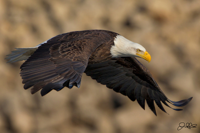 Eagles on the Mississippi 2013 Round 2...  <br /> <br /> I headed back to the Lock and Dam 14 in Le Clair, Iowa on January 26th, 2013 to photograph arguably one of my favorite photographic subjects, Eagles. I was really hoping that the birds would cooperate, since previous weekend I only saw 3 eagles the whole time. This time, I was definitely not disappointed. It had to of been the the best day I have ever had eagle watching on the Mississippi. There were at least 2 birds in the close trees all day and at one point we had close to 10 at one time. They definitely put on a show for the record number of people that turned out. 2 photo groups passing through and plenty of regulars meant that there was not an open parking space left and people had to hike in from the road. Anyways, it was definitely and amazing day and Im definitely glad I made the trip.