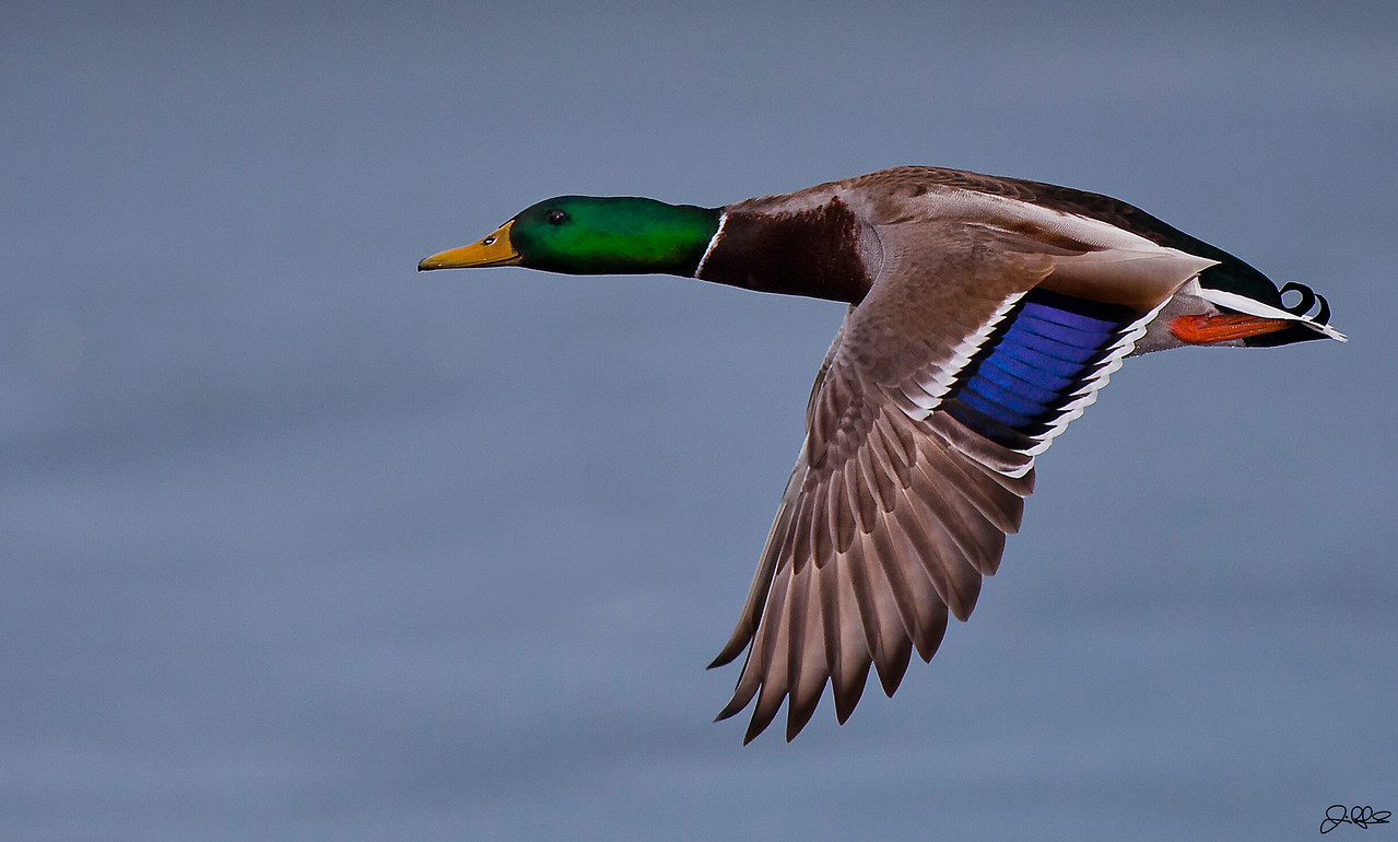 Flight of the Mallard...<br /> <br /> Up close an personal with a mallard in flight...