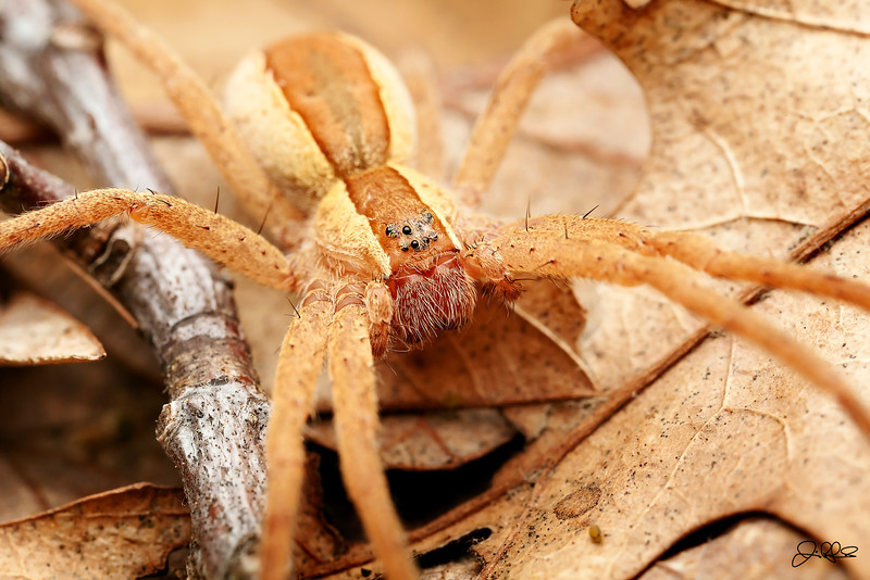 Nursery Spider...<br /> <br /> (Pisaurina Mira)<br /> <br /> Nursery Spiders derive their names from the way they handle their eggs. The female carries the egg sac with her fangs to a suitable location and then builds a web to suspend it from a leaf or high shrub. Once the web has been spun and the sac is protected, the female will then stand guard until all of the eggs hatch.