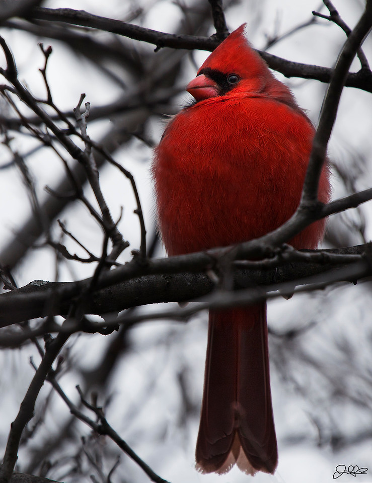 CARDINAL IN THE CITY...<br /> <br /> Today is a prime example of why I always carry my camera with me!!!! I was running some errands today when I passed a man who was photographing something in a tree. I quickly stopped, grabbed my camera, got out, and approached the man slowly. When I asked him what he was photographing, he pointed at this guy... Awesome!!!! I havent seen a Cardinal in years!!!