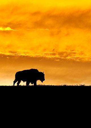 Yellowstone Creatures