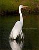 Great Egret 02- Morton Arboretum