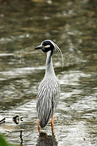 Yellow-crowned heron_35