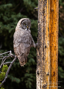 Great Grey Owl on small tree branch