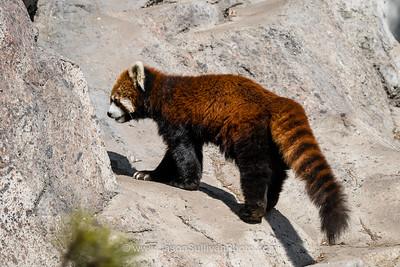 Very Red Panda