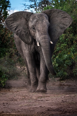 Elephant, Chobe, Botswana