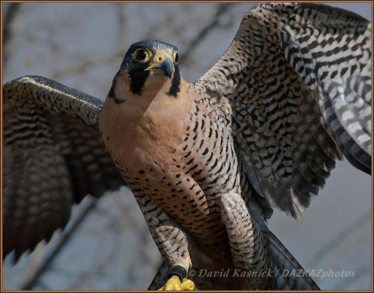 Perrigren Falcon - SOAR