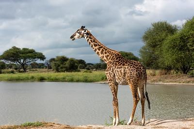 Giraffe, Tarangire