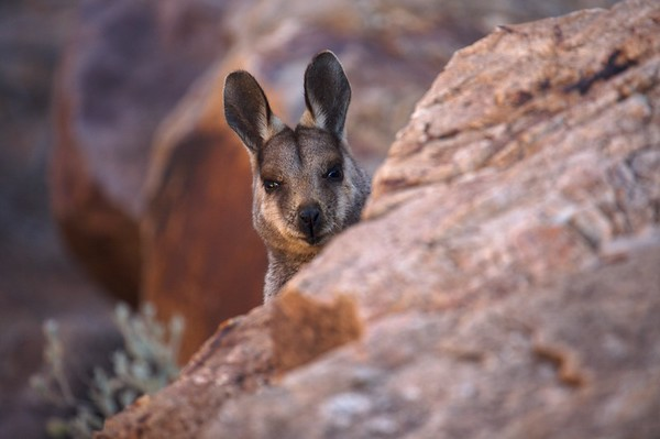 A Rock Wallaby peeks over a boulder before hiding behind it again.
