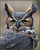 Great Horned Owl 1 - SOAR