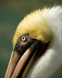Brown Pelican_0189
