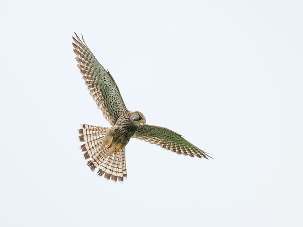 Hunting Kestrel