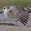 Immature Gull on Fire Island, Long Island, NY