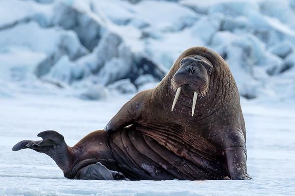 Walrus, Svalbard, Arctic