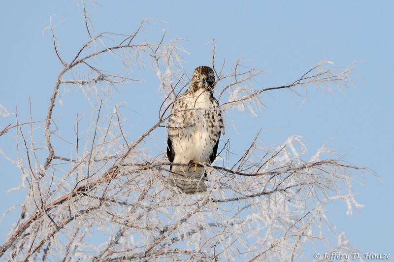 While on our way up to the bird refuge, we took a quick detour to Bountiful Pond to see what birds might be hanging around there. On our way back to the freeway we came across this rough-legged hawk not too far from the road who sat there long enough for us to get some great shots.