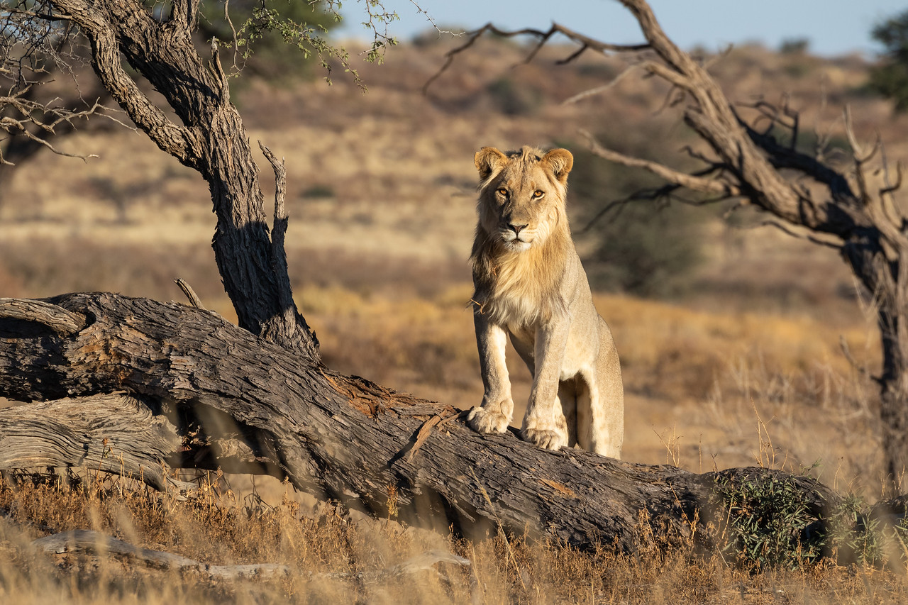 Young male Lion on a fallen tree, Kgalagadi Transfrontier Park, South Africa.