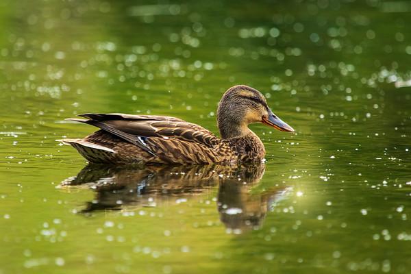 Duck sparkling