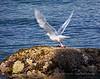 Herring Gull - Vancouver, BC