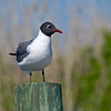 Laughing Gull in Summer, Long Island, NY