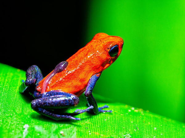 Bluejeans frog family