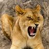 Calamitous Yawn
