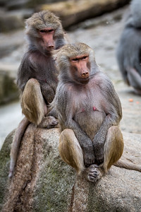 Two Baboons watching