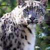 Snow leopard<br /> Central Park Zoo, New York