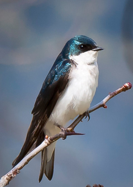 Tree Swallow 1 - Morton Arboretum