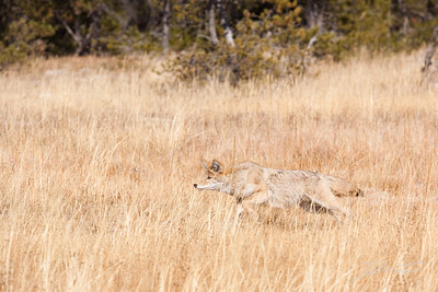 Coyote chasing grasshopper in field of golden yellow grasses