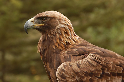 Eagle at San Francisco Zoo