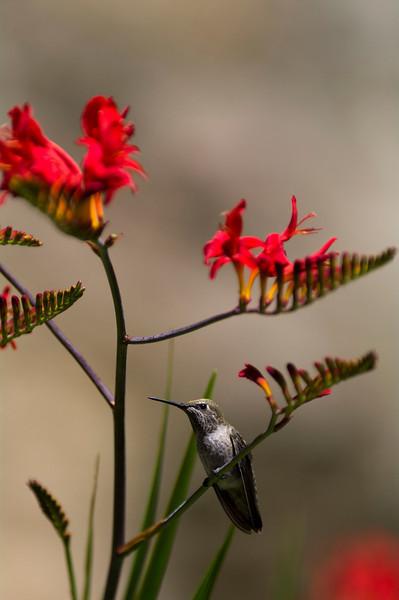 Anna Hummingbirds, Victoria, British Columbia<br /> Camera: Pentax K-7 / Lens: A*300/f2.8