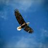 Lake Wildwood Eagle Eats Lunch