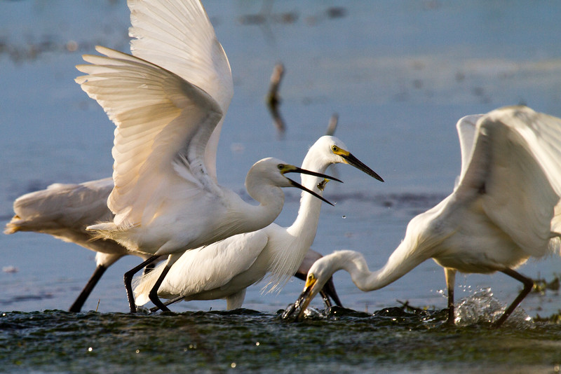 Little Egret with Bait Fish