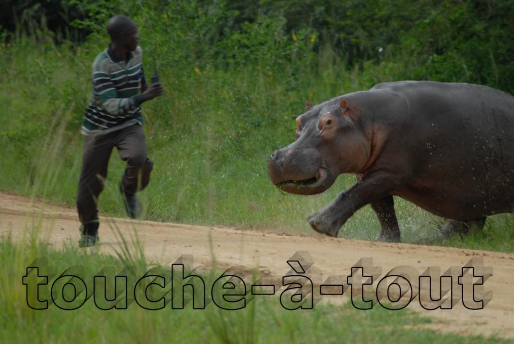 Hippopotamus chasing man<br /> Hippopotamus chases man at Murchison Falls national park, Uganda