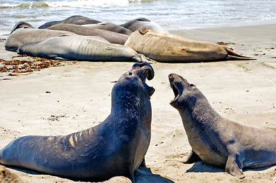 Elephant seals fighting over a piece of beach on the California coast