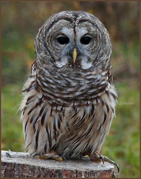 Barred Owl - SOAR