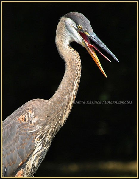 Great Blue Heron 07 - Say Ahhhh - Bass Lake, MI