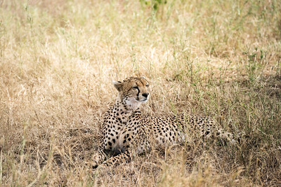 Cheetah, Serengetti