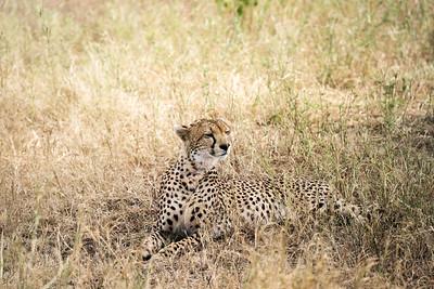 Cheetah, Serengetti