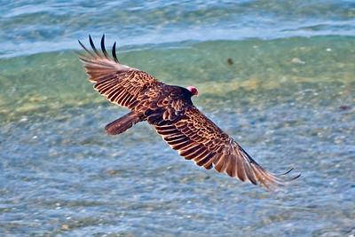 Turkey vulture in Monterey