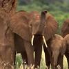 Tsavo Elephant Family