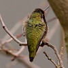Hummingbird in December - Victoria, British Columbia, Canada<br /> Camera: Pentax K-5 / Lens: A*600/5.6