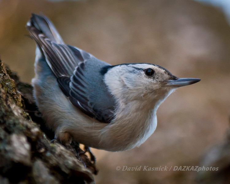 White Breasted Nuthatch 3 - Backyard Birds