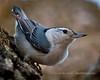 White Breasted Nuthatch 3 - Backyard Birds