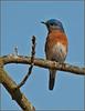 Eastern Bluebird - Morton Arboretum