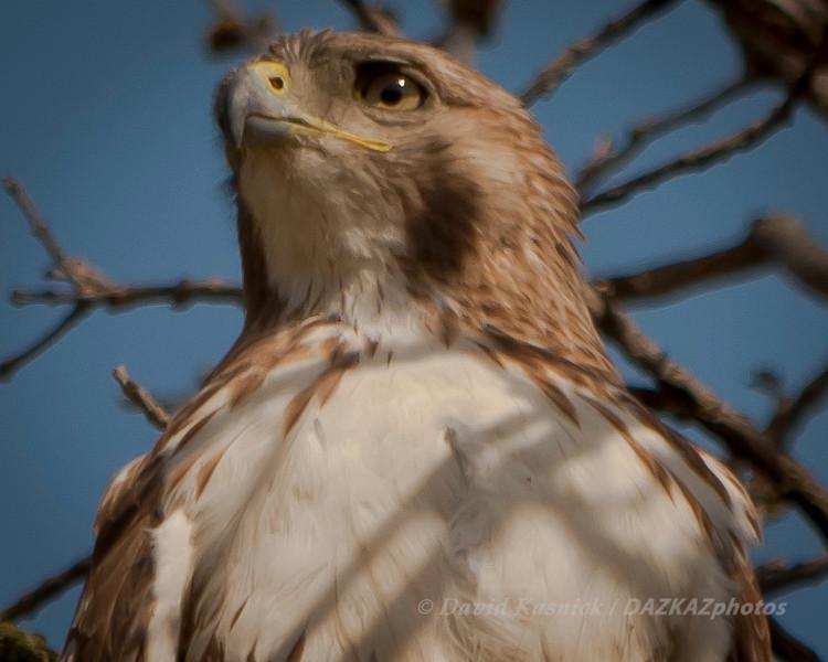 Red Tailed Hawk 3 - Morton Arboretum