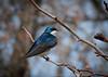 Tree Swallow 2 - Morton Arboretum