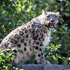 Snow leopard<br /> Central Park Zoo, New York