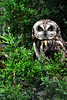 Barred Owl - Glen Ellyn, IL